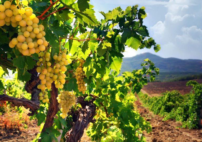 Царство виноградной лозы