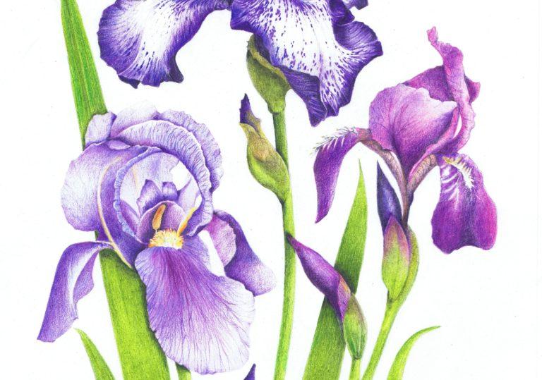 1 мая мастер-класс «Ирисы», рисунок, акварель